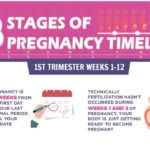 3 Stages of Pregnancy Timeline