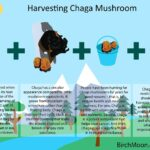 Harvesting Chaga Mushroom [Infographic]